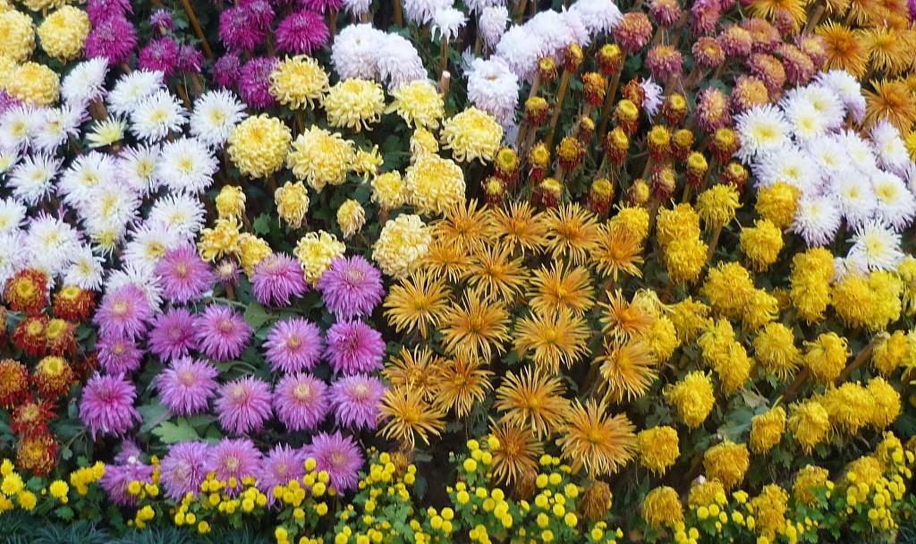 Čína a Japonsko - slavnosti chryzantém