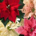 Fotoeditorial - vánoční hvězda