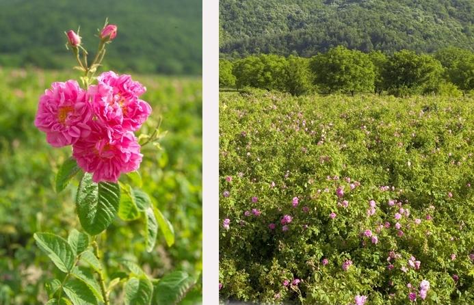 Která růže na světě je nejstarší?